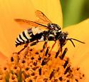 Black & White Wasp - Triepeolus lunatus perhaps? - Triepeolus lunatus
