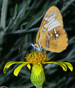Unknown butterfly - Mestra amymone
