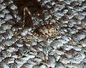 Jumping insect - Diestrammena asynamora - female