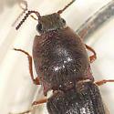 Click beetle - Limonius griseus