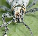Sri Lanka Weevil - Myllocerus undecimpustulatus