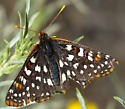 Some butterflies and skippers from Warner Pass - Euphydryas chalcedona