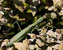 Green-winged mantid - Tenodera sinensis