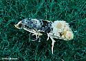 unknown tiny - Thyraylia nana
