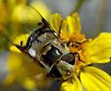 Copestylum apiciferum - female