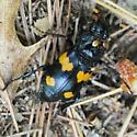 Met this in the woods - Nicrophorus orbicollis