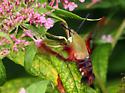 Moth - Hemaris thysbe
