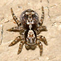 jumping spider - Naphrys pulex - male