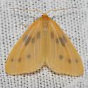 Hodges#7441 - Eubaphe meridiana