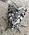Two moths - Hypercompe scribonia
