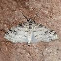 Unidentified moth-20210715 - Lobophora nivigerata