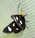 Alypia octomaculata (Eight-spotted Forester - Hodges#9314) - Alypia octomaculata