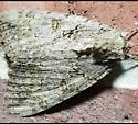 Big moth  - Catocala