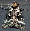 Moth Identification IV - Syngrapha rectangula