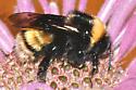 Bombus sp on Monarda 1 10Aug1995 - Bombus occidentalis