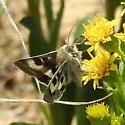 Moth observed 7-22-2019 4:09 pm Cassia County, Idaho near Mount Harrison