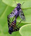 Watersnipe flies mating - male - female
