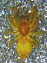Emblyna cf. francisca - Emblyna francisca - male