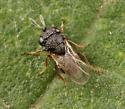 Wasp ID - Gryon - female