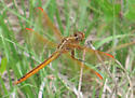 Goldenwinged skimmer? - Libellula auripennis - male