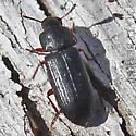 Tiny Beetle - Tribolium