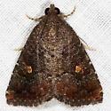 Eight-spot Moth - Amyna stricta