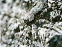 St. Andrews spider Wolf spider 2021 1 - Dolomedes albineus