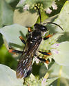 Orange-legged black thread-waisted wasp - Sphex nudus - male