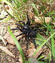 False trapdoor spider? - Ummidia