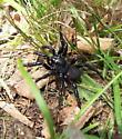 False trapdoor spider? - Ummidia