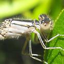 female damsel - female