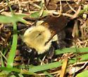B. impatiens queen - Bombus impatiens - female