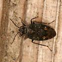 Shore Bug - Saldula