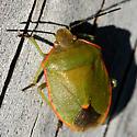 Green and Orange Stink Bug - Chlorochroa ligata