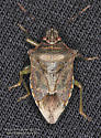 Pentatomomorpha - Podisus serieventris