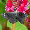 Common Sootywing (Pholisora catullus)? - Pholisora catullus