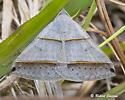 Moth - Ptichodis vinculum