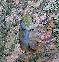 Japanese Maple Leafhopper - Japananus hyalinus