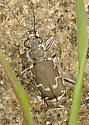 Tiger Beetle, exposed pond shore, Lakeville, MA