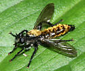 robber fly - Laphria sericea