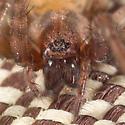 Furry Brown Spider - Tegenaria domestica - female