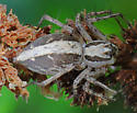 Spider - Oxyopes tridens