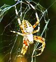 Spider 082713 - Neoscona domiciliorum