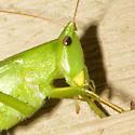 Swift Conehead Katydid - Neoconocephalus velox - female