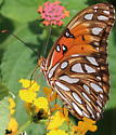 Butterfly GulfFritillary Agraulis Vanillae ? - Agraulis vanillae