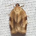 Broken-banded Leafroller Moth - Hodges #3632 - Choristoneura fractivittana