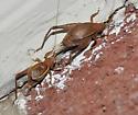 Restless couple - Hapithus agitator - male - female