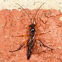 Ichneumonidae - Pimpla pedalis - male