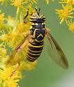 syrphid091717 - Spilomyia longicornis