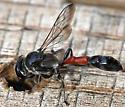 Trypoxylon californicum - male